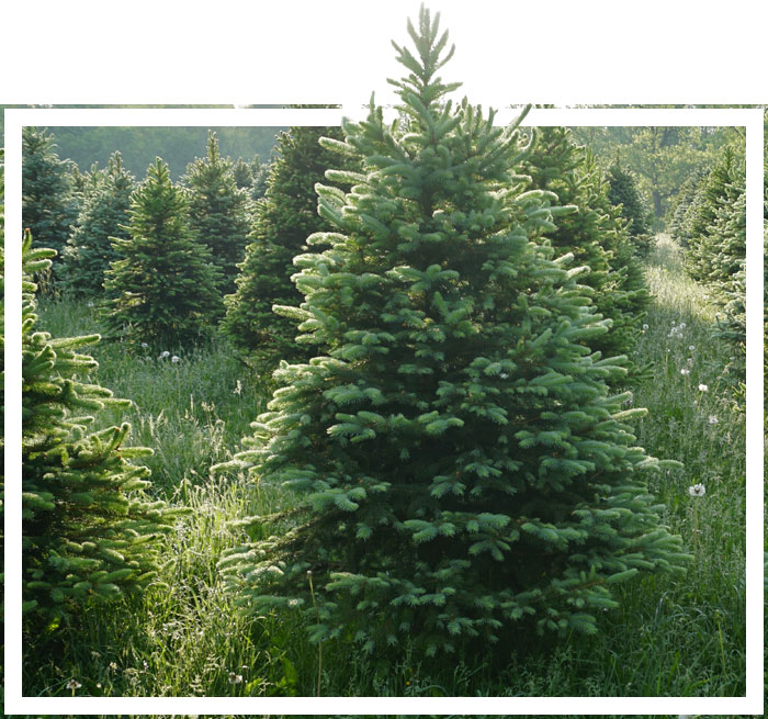 Huge Selection of Christmas Trees